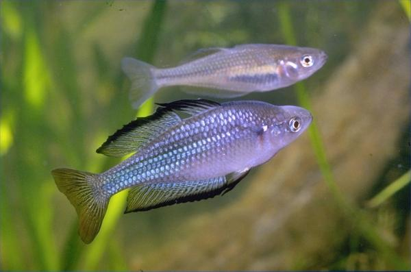 Eastern Rainbowfish from Burnett River, photo? Neil Armstrong