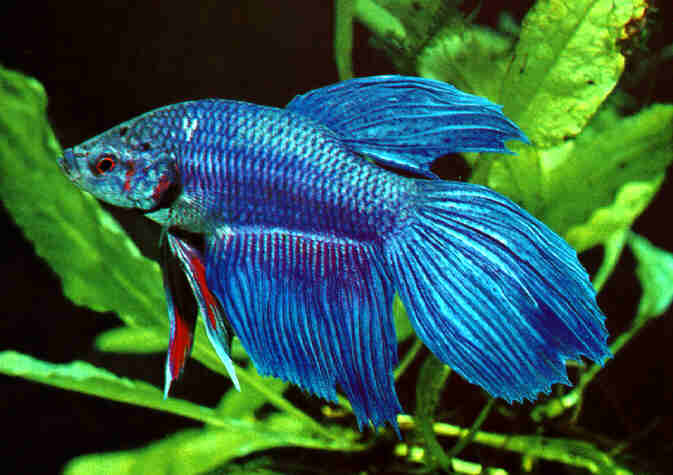 Types of bettas by colour tailss patterns and genetics for How much are betta fish