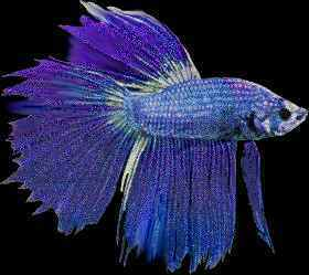 Treating Some Diseases In Bettas And Other Fishes Too