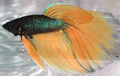 Delta Tail Betta Fish One of improved delta tails