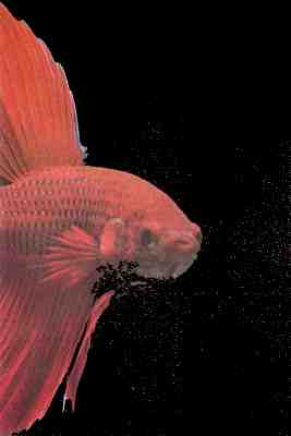 Treating some diseases in bettas and other fishes too for Betta fish ick